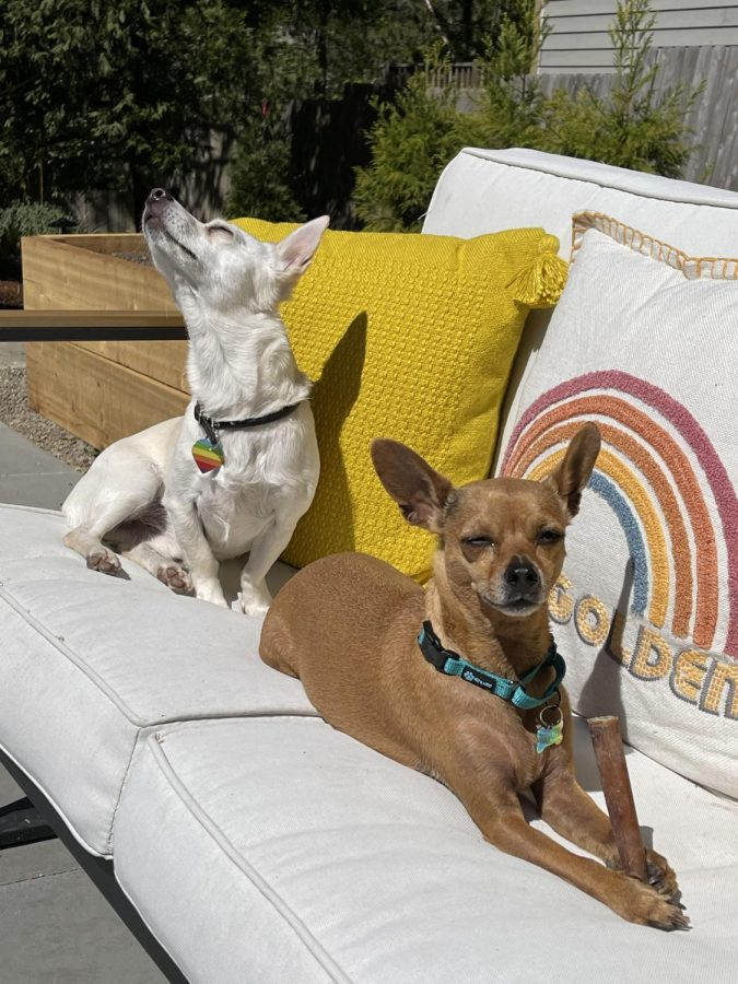 Paco+%28white%29+and+Reggie+%28tan%29+basking+in+the+sun